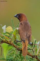 Scaly-breasted munia (saupatil) Tags: scalybreastedmunia munia birds birding alibag birdsofindia