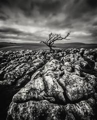 Winter Solstice (gerainte1) Tags: pinhole acros100 film blackandwhite yorkshire dales winter hawthron tree
