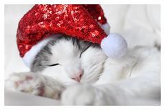 Merry Christmas, Feliz Navidad and Happy Holidays. May you have a restful one! ❤️ (Nina_Ali) Tags: christmascat feliznavidad christmas2018 joyeuxnoël vrolijkkerstfeest buonnatale froheweinachten godjul christmas happyholidays seasonsgreetings