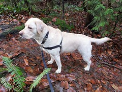 Gracie about to leave the woods (walneylad) Tags: gracie dog canine pet puppy cute lab labrador labradorretriever december winter westlynn
