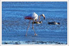 2019-03-13-40359--©-Gerard-MUSSOT (Gerard MUSSOT) Tags: deltedelebre oiseaux faune españa ebro reservenaturele