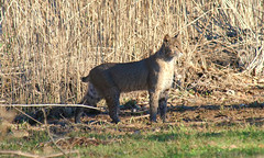 1 What A Surprise (Kaptured by Kala) Tags: bobcat wildcat bigcat lynxrufus carnivore predator hunter whiterocklake dallastexas reinhartbranch mammal camouflage golden healthy large sunshineandshadows