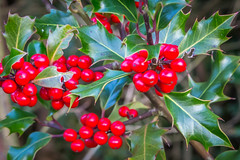 Happy holly hugs ❤❤❤ (Photo_stream_this) Tags: holly bush berries spiney leaves