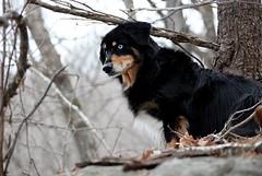 Watch Eye (kerstynp) Tags: maxx dog buddy watcheye blueeye blue black nature outside outdoors wisconsin