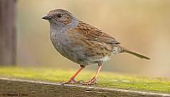 Prunella modularis - Dunnock (margaretc1946) Tags: dunnock wildbird pentaxk3 sigma150500mmlens