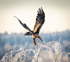 Taking Off (MrBlackSun) Tags: golden eagle goldeneagle winter arctic finland forest frozen kuusamo nikon d850 bird birds birdlover birdlovers kuusamonaturephotography kuusamohides