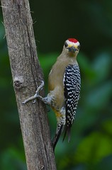 Hoffmann's Woodpecker (anacm.silva) Tags: hoffmannswoodpecker woodpecker ave picapau bird wild wildlife nature natureza naturaleza birds aves tárcoles costarica melanerpeshoffmannii coth5