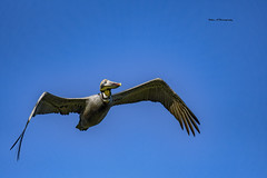 Brown pelican (Mike_FL) Tags: brownpelican oletariverpark nikon nature floridawildlife tamron100400 nikond7500 bird florida photograph image