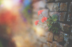 The Wallflower... (KissThePixel) Tags: wallflower bricks wall brickwall bokeh sunlight sunset flower flowers petals redflower redflowers nikon bokehlicious depthoffield dof dofalicious macro perspective aperture creativephotography