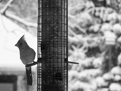 Momma Cardinal on the feeder (karma (Karen)) Tags: baltimore maryland home backyard birds cardinals mono bw dof bokeh hmbt cmwd