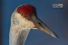 Ready for His Closeup-0107.jpg (bryanstewartcreative) Tags: bryanstewartcreative crane sandhill sandhillcrane bird closeup light composition sunset goldenhour spring eye eyes stare gaze nature wildlife naturephotography wildlifephotography birdphotography nikon nikond750 d750 michigan southeastmichigan kensingtonmetropark friendly close puremichigan naturalmichigan michiganders thegreatlakesstate michiganawesome awesomemitten michigandnr bokeh