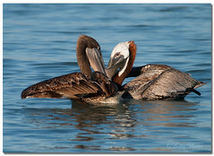 Love is in the Air..... (Betty Vlasiu) Tags: love is air brown pelican pelecanus occidentalis bird nature wildlife florida