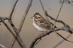 Rustic Bunting (S.G.Davis) Tags: bunting rustic