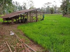 Rice Paddies in Ban Daen Mueang 2 (SierraSunrise) Tags: agriculture emerald esarn farming field green isaan nongkhai paddy paddyrice phonphisai rice ricepaddies ricepaddy thailand