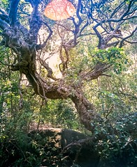 Sydney (Bill Thoo) Tags: sydney nsw australia australian newsouthwales tree nature park branches green film filmphotography filmcamera analog analogue analogphotography analoguephotography mediumformat mediumformatcamera mediumformatphotography mediumformatfilm mediumformatfilmcamera mediumformatfilmphotography pentax 6x7 pentax6x7 takumar 5540 55mmf40 takumar5540 takumar55mmf40 fuji fujifilm provia fujiprovia fujifilmprovia provia100 fujiprovia100 fujifilmprovia100 slidefilm blue color colour