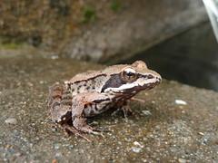 Sapo (chilangoco) Tags: portugal europa europe animal macro sapo frog nautre naturaleza