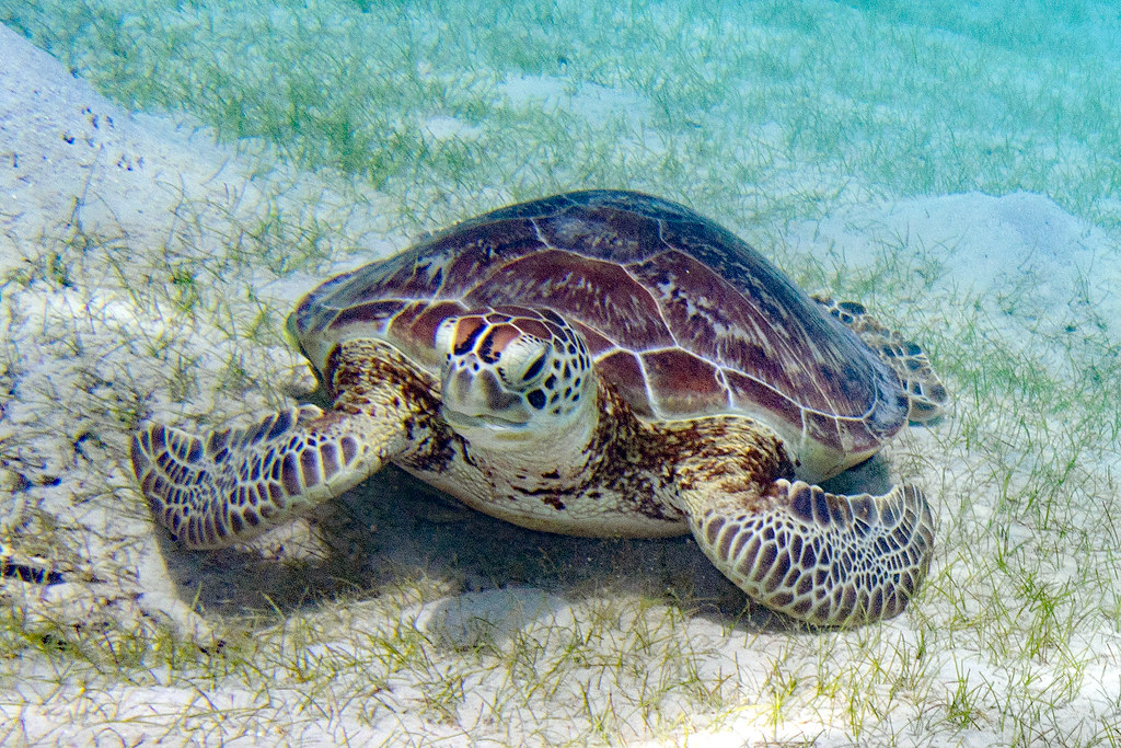 Chelonia mydas Green Sea Turtle