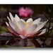 Water Lily XIII