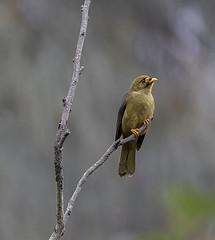 Bellbird waiting for the rain to come (archie0) Tags: bellbird dof perch bird