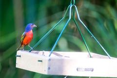Painted Bunting (Male), Felts Audubon Preserve (Eric Seibert) Tags: ericseibert manateecountyaudubonsociety beautifulbird palmettoflorida nikond7100 floridawildlife
