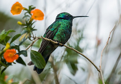 IMG_4972   Lesser Violetear_hummingbird (ashahmtl) Tags: lesservioletear hummingbird colibricyanotus fincalerida boquete chiriquiprovince panama