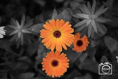 SW Orangene nasse Blume (DJR-FOTO) Tags: blume cutout flower bw blackandwhite