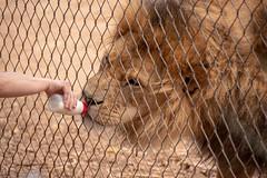 Big Pussy Cat (Liz McMahon) Tags: werribeezoo animals openrangezoo 52in2018 29 atthezoo lions justapussycatreally