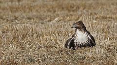 Western Red Tail Hawk (Bill G Moore) Tags: westernredtailhawk birdofprey naturephotography raptor wild wildlife november canon colorado