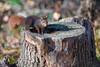 Hoernchen-2018-3295.jpg (Joachim Dobler) Tags: eichhörnchen eichhoernchen squirrel écureuil ardilla scoiattolo esquilo nature natur nagetier esquito wildlife animal cute naturephotography squirrellove wildlifephotography bestsquirrel nutsaboutsquirrels cuteanimals