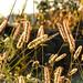 Grass spikelets