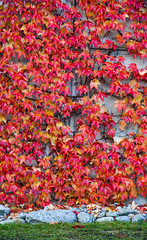 Autumn leaves on the wall (phuong.sg@gmail.com) Tags: autumn background botanical botany climber climbing closeup color colorful cover creeper creeping decoration environment fall fence flora foliage fresh garden green growth hydrangea ivy leaf leaves natural nature outdoor overgrown park parthenocissus pattern plant red saturated season seasonal september texture vegetation wall weed