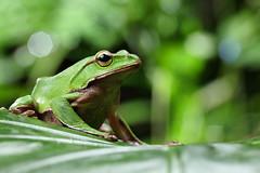 2J4A8063 (ajstone2548) Tags: 12月 樹蛙科 兩棲類 翡翠樹蛙