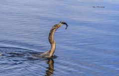 Snack time (Mike_FL) Tags: snacktime evergladesnationalpark nikon nikond7500 nature wildlife floridawildlife florida outdor image tamron100400mmf4563divcusda035