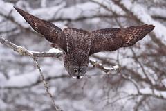 The Plunge (jrlarson67) Tags: great gray grey raptor bird minnesota birdofprey flight launch attack hunt hunting predator dive fly forest snow winter