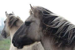 Konik ponies (hedgehoggarden1) Tags: konikponies pony animals creatures habitatmanagement burwellfen cambridgeshire eastanglia uk sonycybershot sony mane