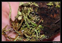 Cladonia chlorophaea & Cladonia coniocraea (cquintin) Tags: fungi ascomycota pezizomycotina lecanoromycetes lecanorales cladoniaceae cladonia chlorophaea coniocraea