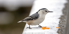 White Breasted Nuthatch 2019 (John Hoadley) Tags: whitebreastednuthatch bird tifftnaturepreserve january 2019 canon eosr 100400ii f63 iso640 nuthatch