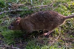 Brown Rat (Ashley Middleton Photography) Tags: brownrat wwt wwtslimbridge animal england europe gloucestershire mammal rat rodent slimbridge unitedkingdom