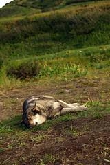 P8267778 (Бесплатный фотобанк) Tags: россия камчатка камчатскийкрай собака пес