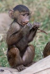 003_Baby Baboon Tasting a Stick.jpg (Howard Sumner) Tags: litchfieldpark wildlifeworldzoo arizona baboon zoo primate animal