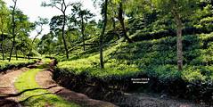 Road through Tea Garden (sajan-164) Tags: tea gardens roads landscape green mazdehee te outdoor srimangal moulvi bazar sylhet bangladesh sajan164