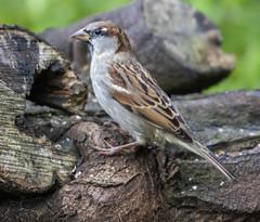Sparrow (7) (Mal.Durbin Photography) Tags: wildlifephotography maldurbin naturephotography wildbirds forestfarm nature naturereserve