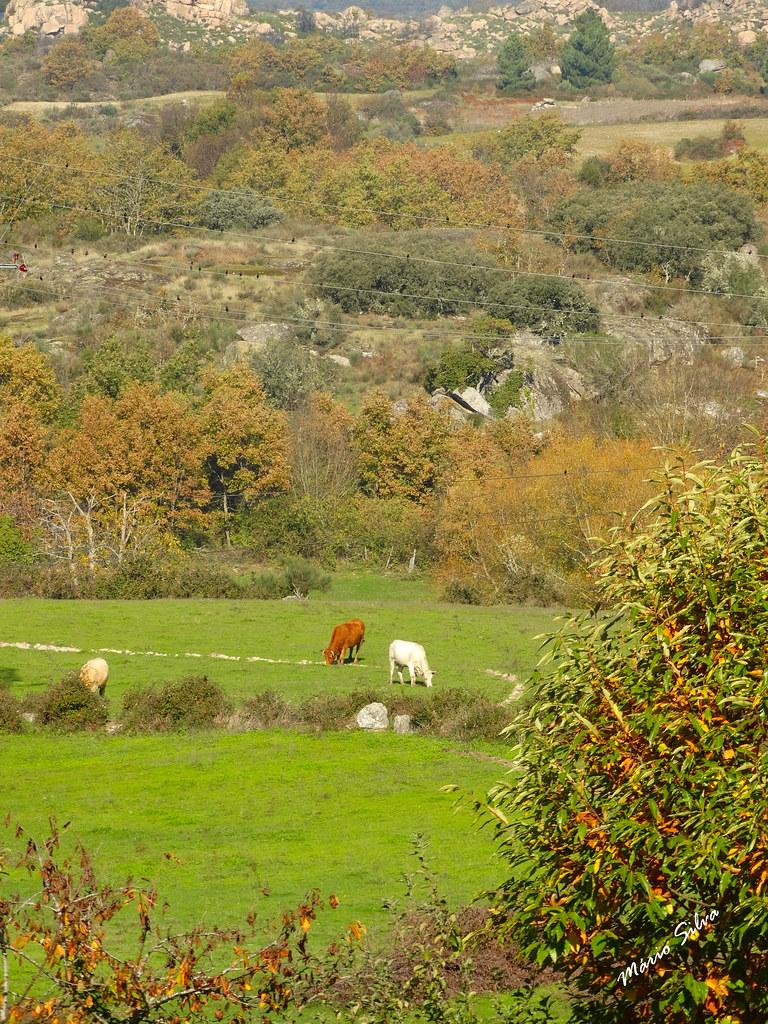 """Águas Frias (Chaves) - ... as vacas """"felizes"""" pastando em prado verdejante ..."""