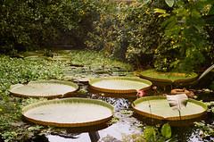 Botanica II (Pomegranate_seeds) Tags: 35mm film photography analogue analogphotography photographer 35mmfilm canon canonae botanica flora botanical garden plants