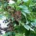 20111129_FosterBG_LagerstroemiaSiamica_Cutler_P1180014