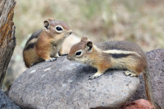 Golden-mantled Ground Squirrel Pups (Spermophilus lateralis); Santa Fe National Forest, NM, Thompson Ridge [Lou Feltz] (deserttoad) Tags: nature newmexico animal rodent mammal fauna squirrel groundsquirrel behavior young nationalforest mountain