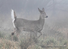 Pert & Alert (Gary Grossman) Tags: endangered deer columbia wild wildlife ridgefield nature winter washington landscape fog northwest garygrossman garygrossmanphotography pacificnorthwest densefog columbiawhitetaildeer endangeredspecies wildlifephotography winterlight