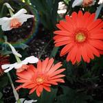 Stratford Ontario ~ Canada ~  Beautiful Cluster of  Flowers ~ Shakespearean  Garden Botanical  ~ Heritage thumbnail