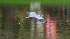 a Heron over a lake (Franck Zumella) Tags: bird oiseau flight vol fly flying voler sat vite sky ciel wood tree forest foret bois arbre nature animal bif heron gbh great blue sony a7s a7 tamron 150600