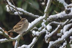 Sparrow in the Snow (pollylew) Tags: housesparrow femalebird snow appletree